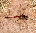 Dragonfly Common Darter 2 (6059379598).jpg