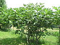 Drevo fige.JPG