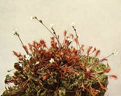 Drosera intermedia WFNY-084.jpg