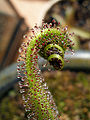 Drosera regia with prey 2.jpg