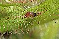 Drosophila melanogaster ♀ Melgen, 1830, Drosera capensis Linnaeus, 1753 1100.1.2236.jpg