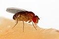 Drosophila melanogaster Proboscis.jpg