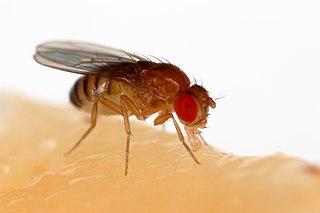 <i>Drosophila melanogaster</i> species of insect