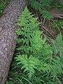 Dryopteris expansa1.JPG