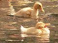 Ducks Yerevan.jpg