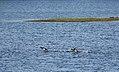 Ducks on the Wing (15868459905).jpg