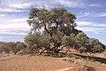 Dunst Namibia Oct 2002 slide141 - Frühling.jpg