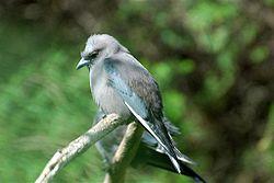 Dusky Woodswallow.jpg