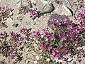 Dwarf-fireweed-isunngua-greenland.jpg