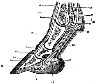 Navicular syndrome - Image: EB1911 Horse section of foot