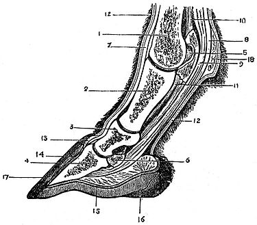 EB1911 Horse - section of foot.jpg