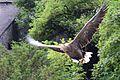 Eagle flyby (25372882630).jpg