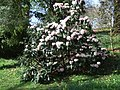 Early rhododendron at Killerton Gardens - geograph.org.uk - 1214247.jpg