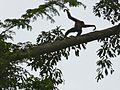 East Bornean Grey Gibbon (Hylobates funereus) (8077086011).jpg