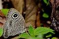 East Himalayan Fivering-Ypthima sakra sakra-ArunachalDSC 7544.jpg
