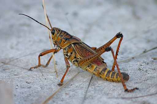Eastern Lubber Grasshopper Sideview