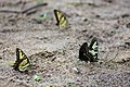 Eastern tiger swallowtail (30401185138).jpg