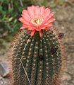 Echinopsis formosa BGDD.jpg