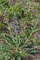 Echium plantagineum, Sainte Lucie Island 01.jpg
