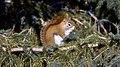 Ecureuil roux d'amerique du nord.jpg