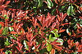 Edison, WA - Rhododendron with new growth.jpg