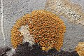 Elegant Sunburst Lichen - Rusavskia elegans (30347215028).jpg