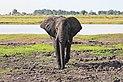 Elephant in Chobe National Park 04.jpg
