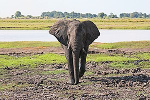 Elephant in Chobe National Park 04.jpg
