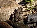 Eleutherodactylus gundlachi01.jpg