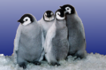 Emperor penguin chicks at Sea World.png