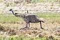 Emu (Dromaius novaehollandiae) (30474824013).jpg