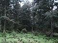 Encinos añejos - panoramio.jpg