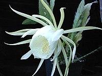 Epiphyllum crenatum kimnachii1MW.jpg