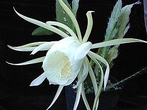 Epiphyllum crenatum var. kimnachii