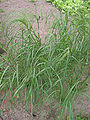 Eragrostis tef flowering (Teff bloeiend).jpg