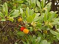 Erdbeerbaum mit Früchten.jpg