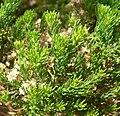 Ericameria laricifolia 2.jpg