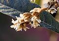 Eriobotrya japonica - Loquat 05.jpg