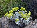 Eriogonum crocatum.jpg