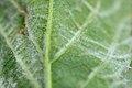 Eriophyes gibbosus on Rubus sp. (31919056615).jpg