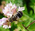 Eristalis sp. - Flickr - gailhampshire (11).jpg