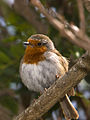 Erithacus rubecula -Canary Islands, Spain-8.jpg