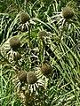 Eryngium alternatum 2.jpg