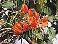 Erythrina poeppigiana (18258348879).jpg