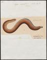 Eryx anguiformis - 1700-1880 - Print - Iconographia Zoologica - Special Collections University of Amsterdam - UBA01 IZ11900111.tif