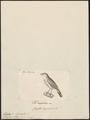 Estrilda subflava - 1700-1880 - Print - Iconographia Zoologica - Special Collections University of Amsterdam - UBA01 IZ15900145.tif