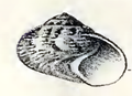 Ethalia guamensis 003.png