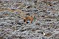 Ethiopian Wolf (15687987084).jpg