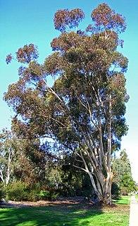 <i>Eucalyptus cladocalyx</i> Species of plant