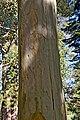 Eucalyptus saligna 01.jpg